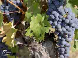 Agrosaveti---udruzenje-vinara-Srem-Fruska-gora---02