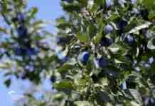 Agrosaveti---vocarska-proizvodnja---planina-Jelica---02