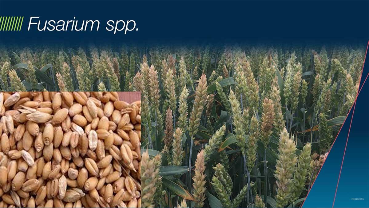 Agrosaveti---Bayer---zastita-semena---psenica-i-jecam---02