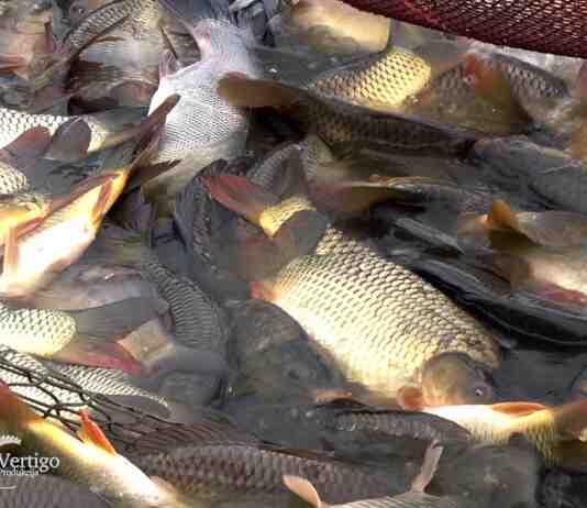 Agrosaveti---Prodaja-ribe---01