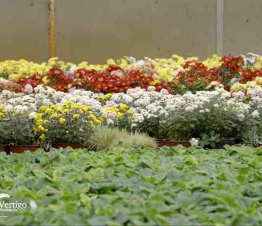 Agrosaveti---proizvodnja-cveca---Tornjos---02