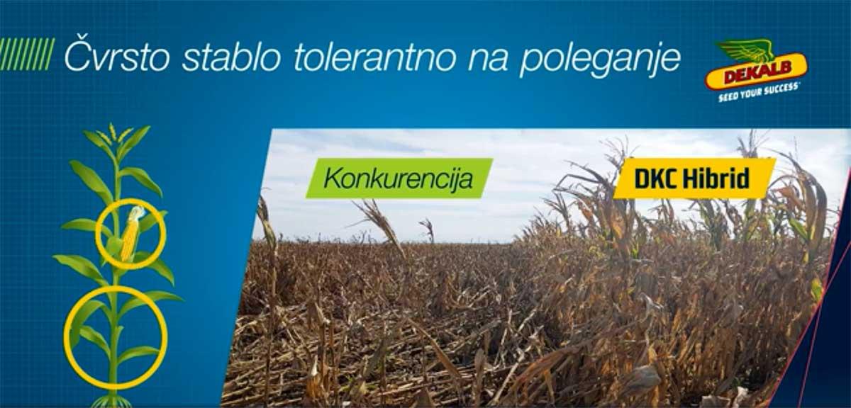 Agrosaveti Bayer Dekalb kukuruz 02