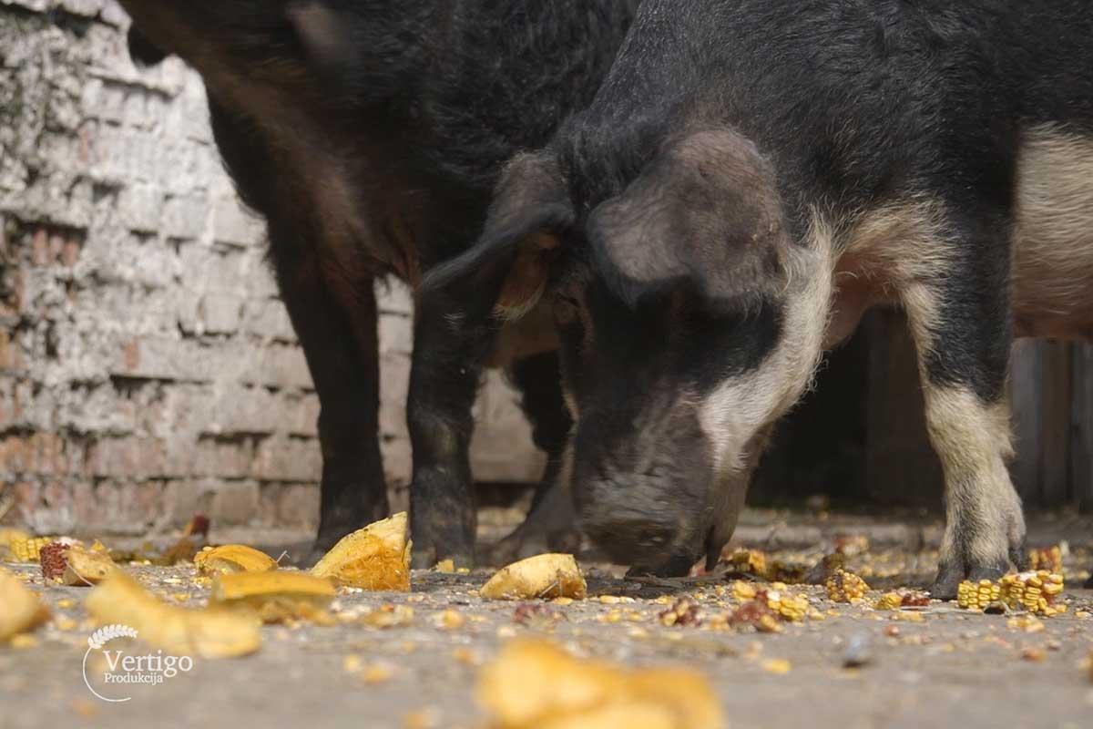 Agrosaveti Farma mangulica prerada mesa Kacarevo 01