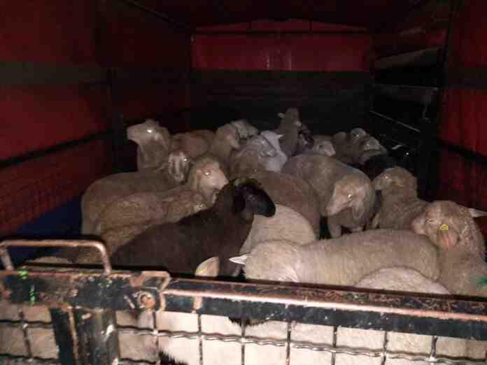 Agrosaveti jagnjad za Kosovo 03