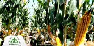 Agrosaveti Corteva Pioneer projekat rane setve kukuruz 02