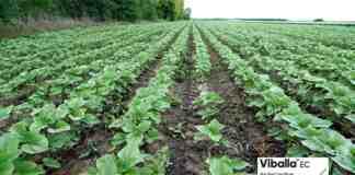 Agrosaveti Corteva Viballa suncokret 01