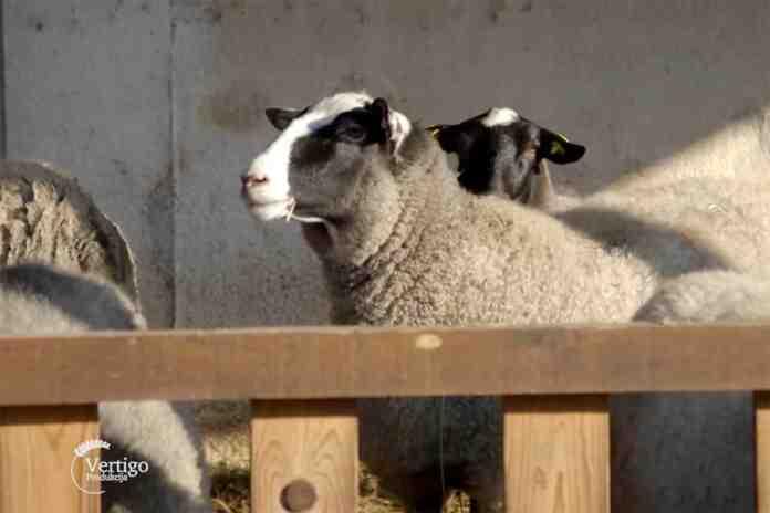 Agrosaveti farma tovnih ovaca romanovsa Sid 01