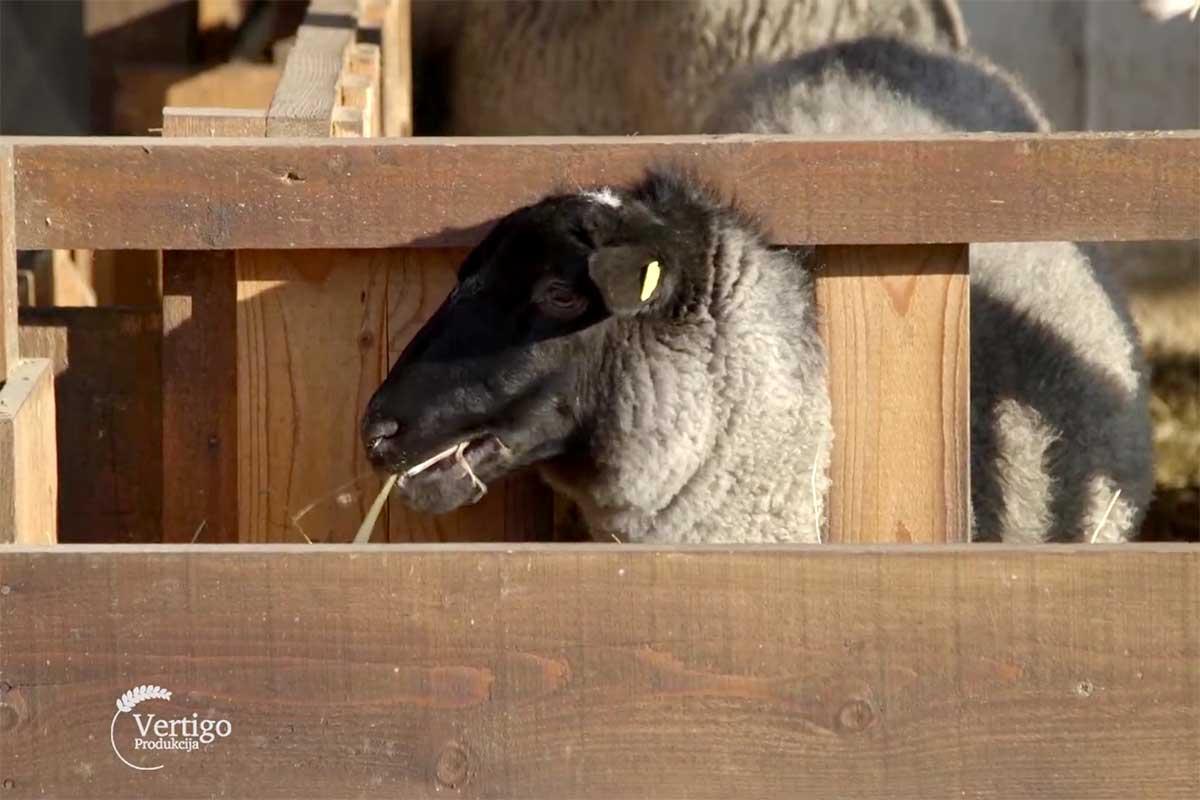 Agrosaveti farma tovnih ovaca romanovsa Sid 02