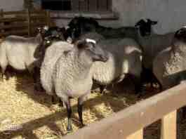 Agrosaveti farma tovnih ovaca romanovsa Sid 03