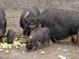 Agrosaveti uzgoj vijetnamske svinje Backa Palanka 02