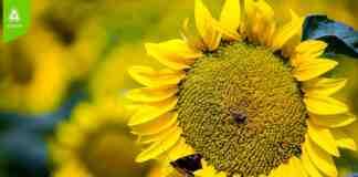 Agrosaveti Adama Racer suncokret prskanje na crno korovi
