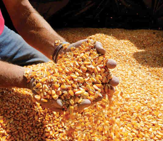 Agrosaveti Bayer Dekalb hibridi kukuruza 02