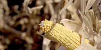 Agrosaveti Corteva Pioneer hibridi kukuruza 02