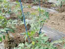 Agrosaveti galenika fitofarmacija paradajz posle rasadjiivanja povrce u plasteniku 01