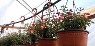Agrosaveti proizvodnja cveca Cacak 02