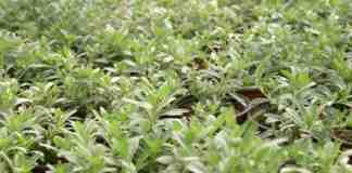 Agrosaveti proizvodnja cveca Mrcajevci porodica Adamovic 03