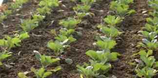 Agrosaveti proizvodnja povrca Sovljak 02