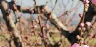 Agrosaveti zastita voca breskva pocetak cvetanja 02