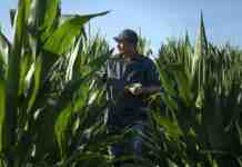 Agrosaveti Adama Coltrane kukuruz 01