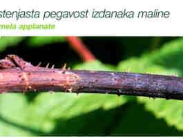 Agrosaveti Bayer Luna Sensation susenje lastara malina 02