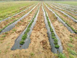 Agrosaveti galenika fitofarmacija ishrana zasada jagode 01