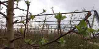 Agrosaveti galenika fitofarmacija zastita jabuka roze pupoljak 01