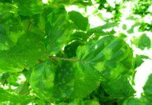 Agrosaveti grinje u zasadima malina 03
