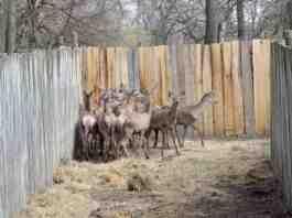 Agrosaveti naseljavanje jelena 01