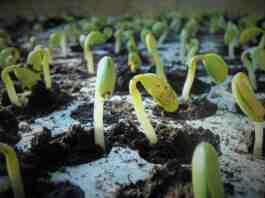 klijanje semena