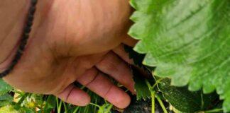 Agrosaveti jagode 03