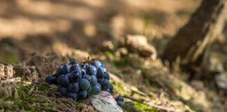 grozdje